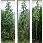 pic of The Tree Projects PNW Poster Set sold at WesSpur